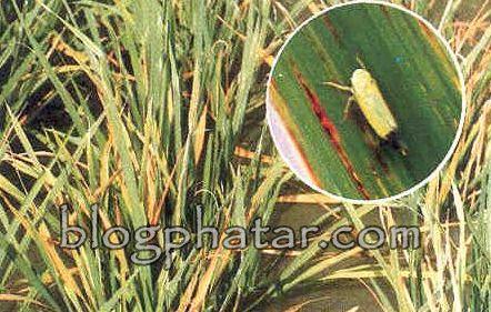 hama-dan-penyakit-padi